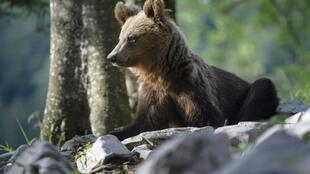Once on the verge of extinction, Slovenia's brown bear population is booming, with the number roaming the sprawling forests having doubled in the last decade to around 1,000