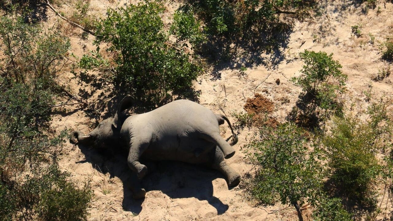 Bacteria infection blamed for further elephant deaths in Zimbabwe