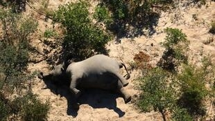 The latest elephant deaths in Zimbabwe come after scientists found that hundreds of specimens had succumbed to bacteria in Botswana's Okavango Delta.