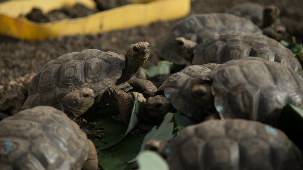 Imagen de archivo. Un grupo de tortugas gigantes se alimentan en un vivero en el Parque Nacional Galápagos, en el remoto archipiélago ecuatoriano, el 22 de enero de 2018.