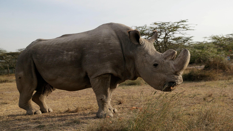 """El último rinoceronte blanco del norte macho sobreviviente llamado """"Sudán"""" pasó sus últimos días en la reserva de Laikipia, en Kenia."""