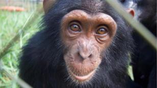 Falero, un jeune chimpanzé orphelin recueilli au sanctuaire Tchimpounga en République démocratique du Congo.