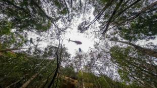 Un hélicoptère inspecte le dernier site naturel au monde de pins de Wollemimi, photographié mi-janvier.