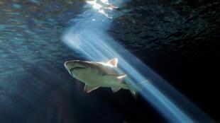 Un tiburón en el acuario de Sídney (Australia) el 3 de julio de 2010