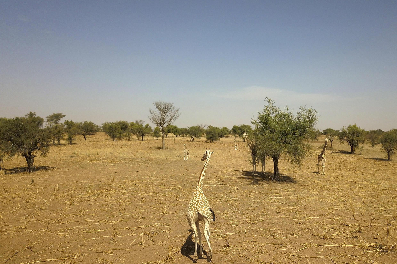 Kouré, au Niger, le 25 février 2020. C'est dans cette zone très boisée que vivent les dernières girafes d'Afrique de l'Ouest, à 70 km de Niamey.