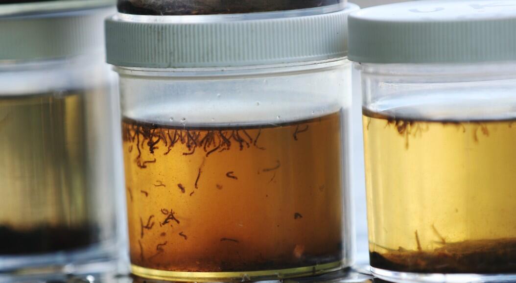 contenedores con larvas de mosquitos son vistos mientras el departamento de control de mosquitos de Florida Keys inspecciona un vecindario en busca de estos insectos o áreas donde puedan reproducirse, en un intento por erradicar los portadores de dengue, en Key Largo, Florida, Estados Unidos, el 8 de julio de 2020.
