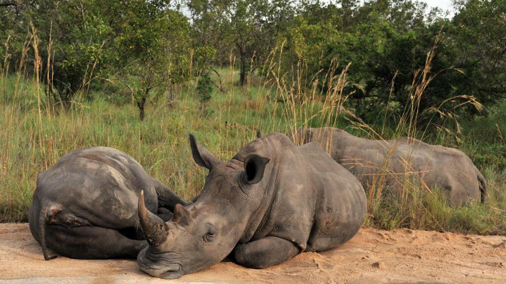 Les autorités prévoient d'envoyer jusqu'à 500 rhinocéros dans d'autres sites ou à l'étranger.