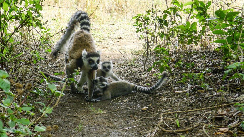 La plupart des espèces de lémuriens, vivant à Madagascar, sont en voie de disparition.