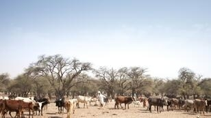 A stock-breeder with cattle on a trail in Chad's Ouaddai region, where changing conditions contribute to clashes between nomads and settled farmers