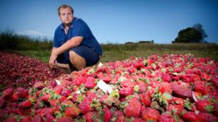 Un fermier australien posant, le 20 septembre 2018, devant les fraises qu'il va devoir détruire.
