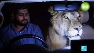 2020-01-22 06:17 Pakistan : Domestiquer les tigres et les lions, la dernière tendance