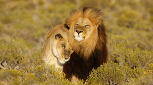 Lions en Afrique du Sud.