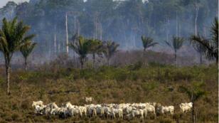 Un troupeau pâture alors que la forêt amazonienne brûle en arrière-plan sur cette photo prise le 25 août près de Novo Progresso, au Brésil.