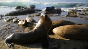 Sea lions bathe in the sun in California
