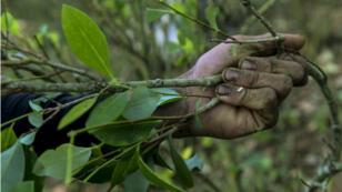 """Un """"raspachín"""" (recolectador de coca), recoge hojas en un campo cerca del municipio de Briceño, departamento de Antioquia, Colombia el 20 de noviembre de 2017."""