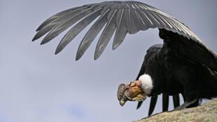 Un cóndor andino (Vultur gryphus) fotografiado en el parque nacional Puracé, Colombia, el 13 de febrero de 2021