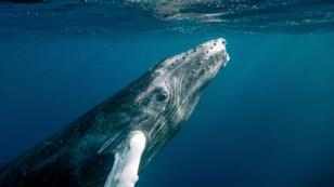 Les baleines à bosse bébés font déjà 4mètres à la naissance.