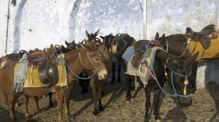 Des ânes à Santorin.