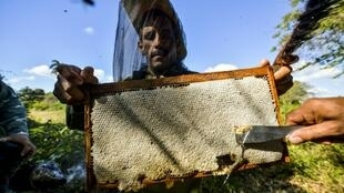 Beekeepers collect honeycombs in Navajas, Matanzas province, Cuba where bees are flourishing despite shrinking populations elsewhere in the world