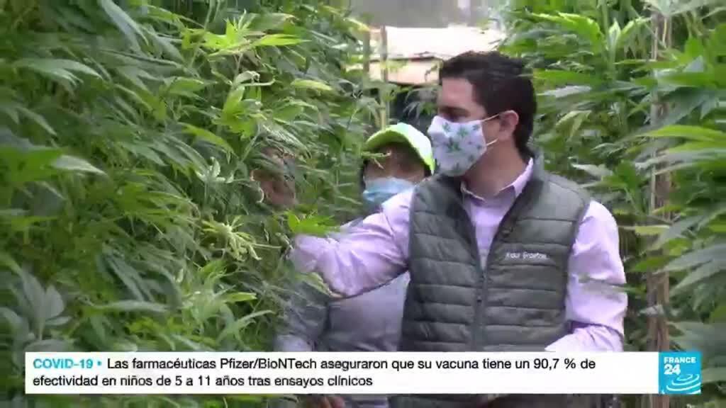 2021-10-22 22:12 Floricultores ecuatorianos le apuestan al cultivo de cannabis