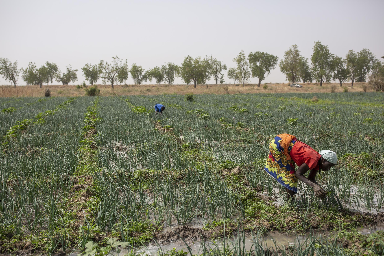 D'après Pablo Servigne, les systèmes alimentaires du Nord exportent des denrées vers le Sud à très bas prix, détruisant ainsi les agricultures vivrières des pays plus pauvres. (photo d'illustration, dans un champ d'oignons au Cameroun)
