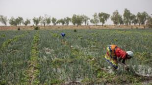 agriculture-cameroun