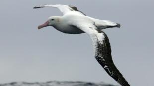 Vol d'albatros sur l'archipel du Crozet en juillet 2007
