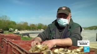 2020-04-18 12:07 Covid-19 : L'épidémie plane sur la récolte des asperges