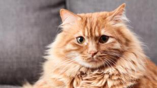 El estudio demostró que los animales que viven en un bar o guardería para gatos son menos sensibles a su nombre.
