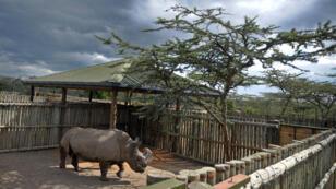 Sudan est le dernier mâle de la sous-espèce des rhinocéros blancs du Nord.