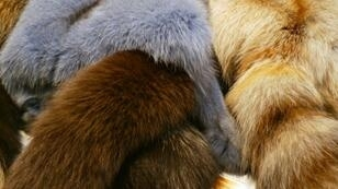 Fashion gians Gucci, Versace and Burberry have discontinued the use of fur in their designs