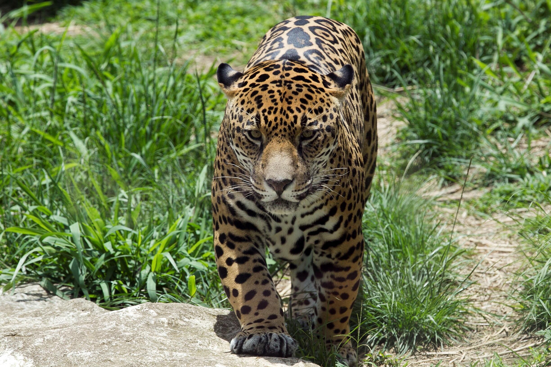 jaguar honduras