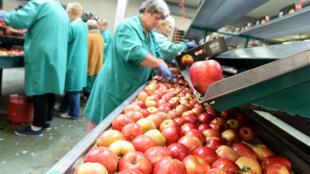Des pommes entreposées dans une usine en Pologne, le 3 septembre 2014. La Pologne, le plus grand exportateur de pommes au monde, subit l'embargo russe.