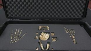 - قسم من الهيكل العظمي الذي عثر عليه في جنوب أفريقيا