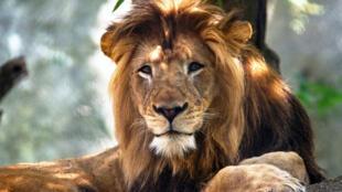 Nyack, el león adulto masculino del Zoológico de Indianápolis que murió como consecuencia de las heridas infligidas por una hembra adulta de león, se ve en esta foto sin fecha difundida por el zoo en Indiana, Estados Unidos, 21 de octubre de 2018.