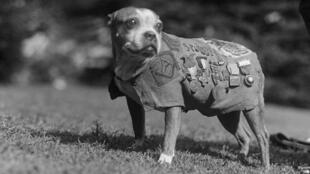 Stubby, le chien le plus décoré de la Première Guerre mondiale.
