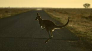 """""""Hay un canguro saltando por la avenida. Es en serio, yo sé que van a pensar que estoy loco"""", dijo uno de los que llamó al 911, según el diario local Sun Sentinel"""