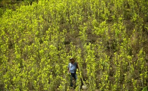 A grower in a coca field in Pueblo Nuevo, Antioquia, Colombia, on May 15, 2017