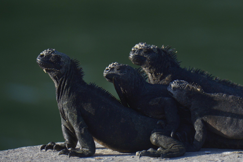 Iguanas marinas descansan al sol en la isla Santa Cruz, en el archipiélago de las Galápagos, el 14 de abril de 2021