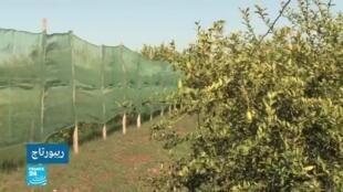 2020-01-10 01:54 في عمق الحدث المغاربي / ليمون الكافيار في المغرب: مغامرة زراعية