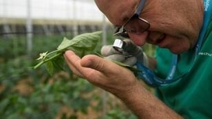 Antonio Zamora no longers puts on a suit to spray his crops with insecticides, instead hanging small bags of mites on the plants that attack parasites while sparing the produce