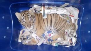 Tigre después de ser interceptado enviado por correo en Tlajomulco De Zuniga, Jalisco, México, el 7 de febrero de 2018