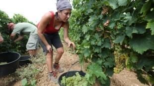 La cueillette des petites grappes de Muscat a commencé dans le vignoble du Champ des soeurs à Fitou le 28 juillet 2020