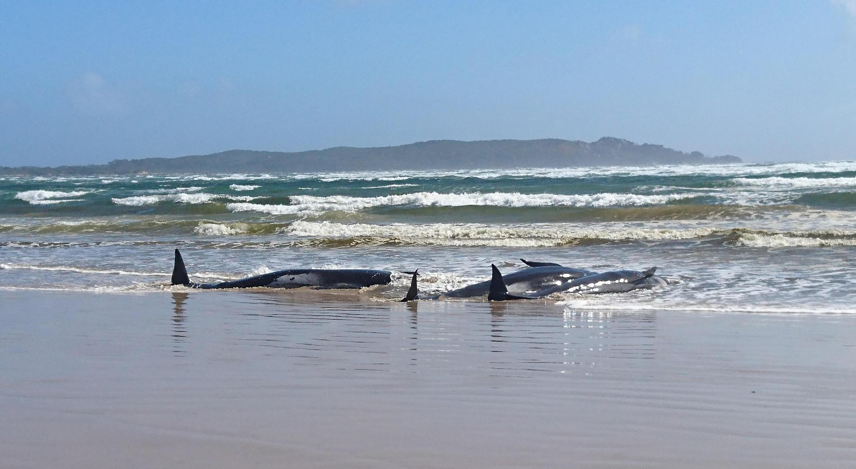 Ballenas varadas en la arena en el puerto de Macquarie, en Tasmania, Australia, el 21 de septiembre de 2020