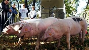 African swine fever is not harmful to humans but causes haemorrhagic fever in pigs