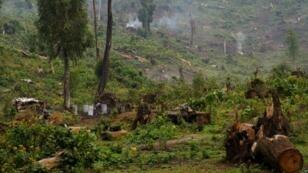 Forêt de Masisi en République démocratique du Congo, où les arbres sont abattus pour faire du charbon de bois.