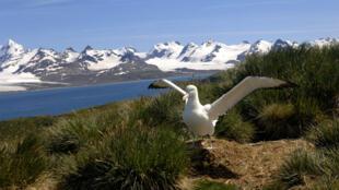 Un albatros hurleur sur son nid, sur l'île de Géorgie du Sud au large de l'Argentine.