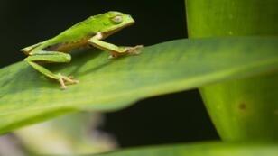 ضفدع في الغابات الاستوائية في الأمازون.