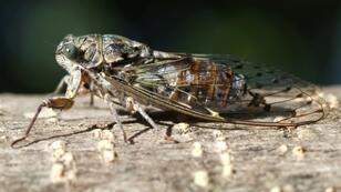 The cicada, a symbol of France's southeastern area of Provence, is proving too loud for tourists -- several have complained to the mayor of the picturesque village of Beausset that the insects are ruining their holiday lie-ins