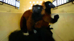 The twin red-ruffed lemurs are moved in a pet-carrier to a vet for check-up in this picture relased by Wildlife Reserves Singapore
